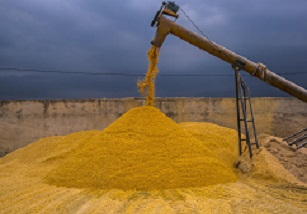 Sept. 1 Grain Stocks Estimate Provide Muted Support for Prices