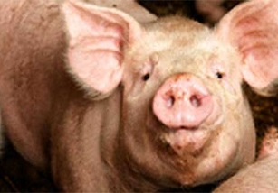 Pork Industry's Sustainable Expansion